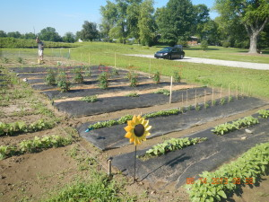 Plots of gardening land with rows of vegetation